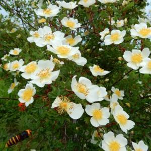 薔薇とスズメバチ