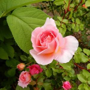 薔薇の季節の始まり① A・ダービー J・オースチンなど