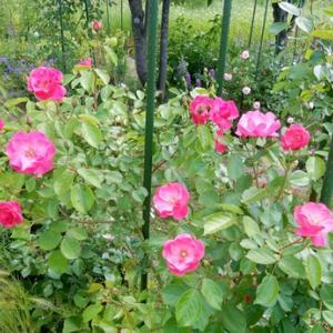 薔薇の季節 ②アンジェラ コレッタなど
