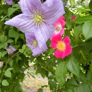 クレマチスと薔薇