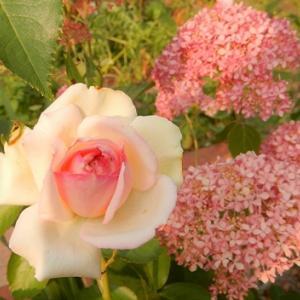 西洋ニワトコの花について