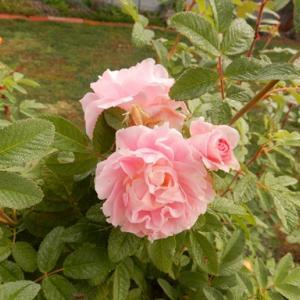 寒冷地向けの薔薇 マーティン・フロビシャー