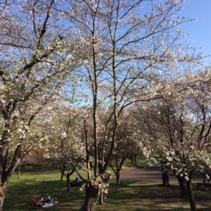 北海道で桜が満開です!