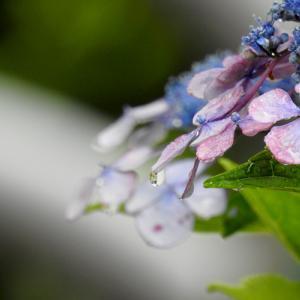 ノウゼンカズラと紫陽花・・・