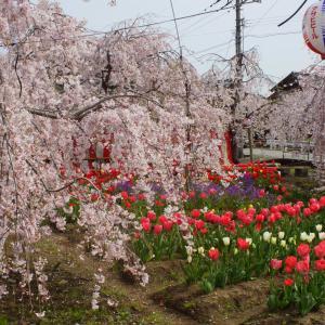 近在に在る『枝垂れ桜とチューリップ』の写真スポット
