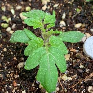 トマトの苗はゆっくり育っています