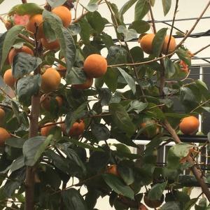 実りの秋「我が家の柿収穫祭」