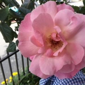 やっとバラが咲きました。