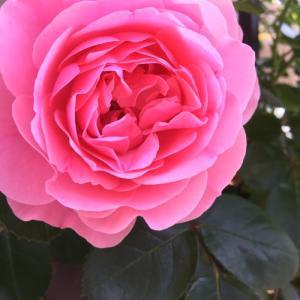 やっと薔薇の「レオナルドダビンチ」のいい写真が撮れました。