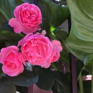 待ち望んだバラ「レオナルドダビンチ」