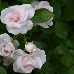 白いけど淡桃色の薔薇