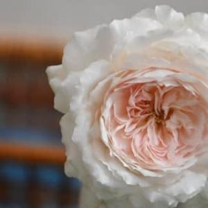 1番好きな香りの薔薇