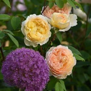 オホーツクの夏薔薇