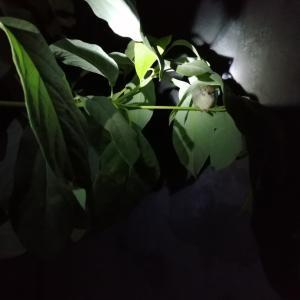 アボカドの枝に