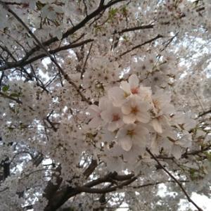 春!さくら満開 さくらまつり!
