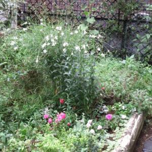 カクトラノオの花