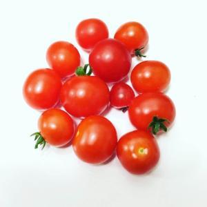 2020年度トマト初収穫!