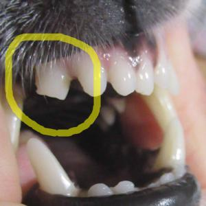 さくら、歯が欠けた!--- 結局・・・