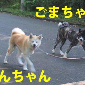 毎朝、柴犬、落ちてます・・・