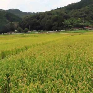 稲刈りと彼岸花【池】