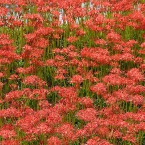 今年は暑過ぎた為に彼岸花の開花が遅れている