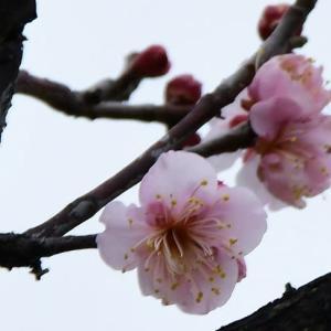 雪降らず陽気も暖かく早くも梅が咲いた