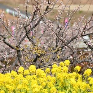 愛知県内ではここが一番の梅林!