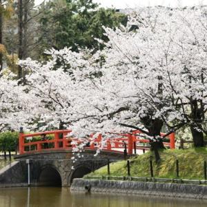公園の桜巡り⑥