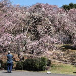 幸田しだれ桜まつりは中止でも桜は満開だ