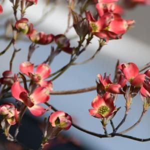 庭のハナミズキが咲き出した。