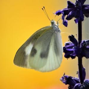 花蜜に寄る蝶