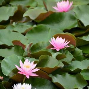 睡蓮の花 花池②