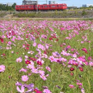 赤い電車と満開のコスモス畑