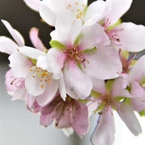 豊田市小原村の四季桜が見頃だと