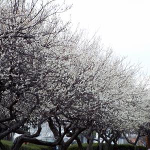 梅の花香る