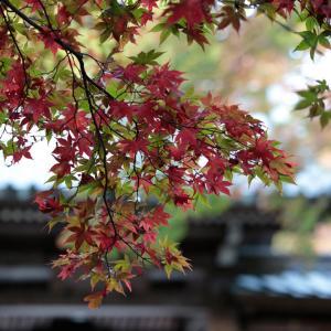 瑠璃門 早朝の紅葉 -大雄山最乗寺-