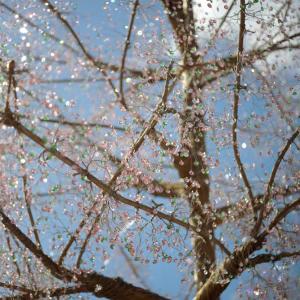 サクラ☆クリスタル -箱根ガラスの森美術館2020-