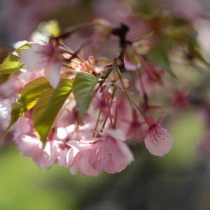 河津桜 まつだ桜まつり3