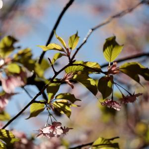EVFを使ってみた まつだ桜まつり5