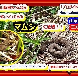 「プロガイド登山動画」「マムシに遭遇!登山中に毒蛇(ヘビ)に遭遇した模様を動画にしました。山梨百名山、三方分山 」関東山登りイベント・スキー教室 山の会(登山教室) プロガイド同行登山山行