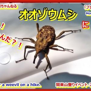 「プロガイド登山動画」「え?!こんなにでかいの?!オオゾウムシに遭遇の動画を作りました。昆虫。」関東山登りイベント・スキー教室 山の会(登山教室) プロガイド同行登山山行