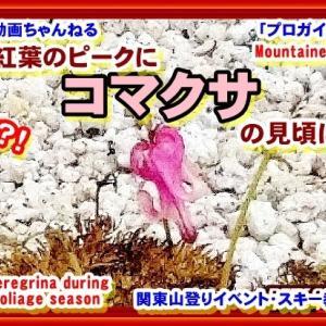 「プロガイド絶景・登山動画」「まだ、間に合う!奇跡?!こんな紅葉の時期に見頃のコマクサ!なんと!10月の紅葉のピークの時期に見頃に遭遇し激写した模様です。紅葉と共にご覧下さいー北アルプス燕岳山頂部のガレ場・砂地」関東山登りイベント・スキー教室 山の会(登山教室)プロガイド同行登山山行