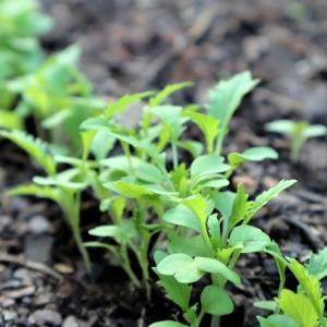 水菜の成長