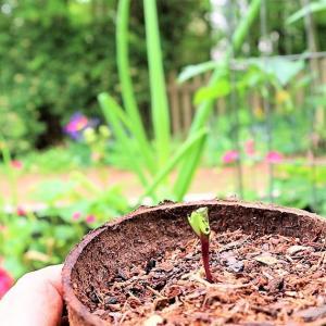 ヒマワリの芽が。。。齧られた。