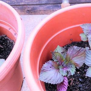 赤紫蘇の苗