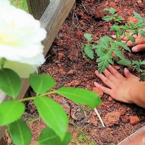 秋トマトを植える