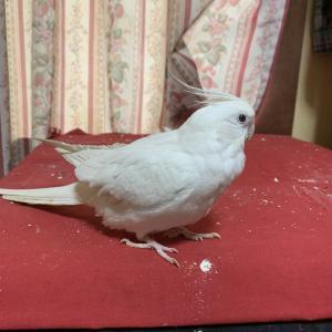 1375:相撲鳥