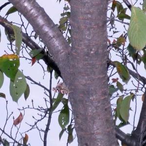 アカタテハ(赤立羽) 樹皮に溶け込む!