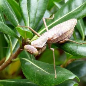 ハラビロカマキリ(腹広蟷螂) 褐色型は少ないと言われますが!