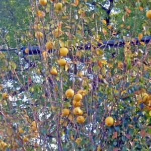 豊作のカリン(花梨)と皇帝ダリア